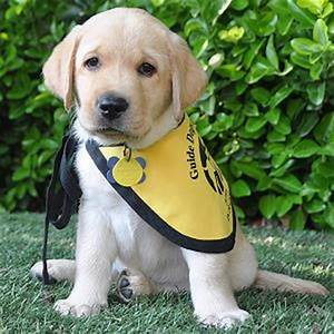 Volunteers Needed! Raise a Future Guide Dog in Your Home